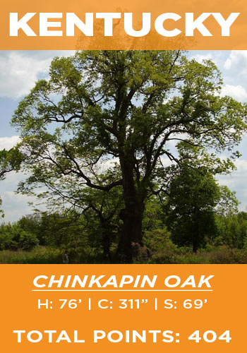Kentucky - chinkapin oak