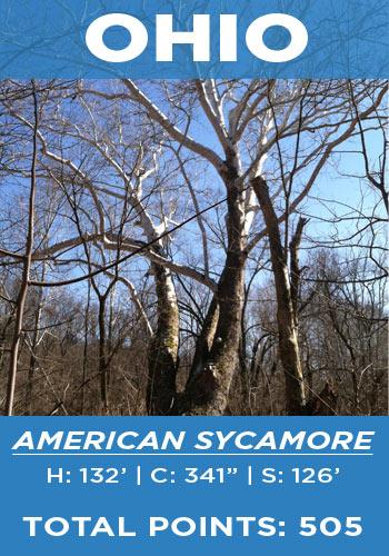 Ohio - American sycamore