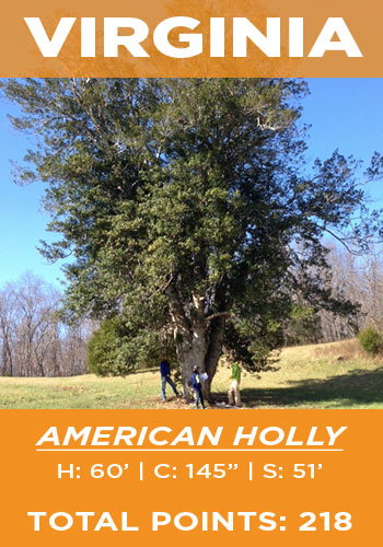 Virginia - American holly