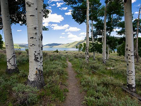 Pando aspen grove at Fishlake National Forest