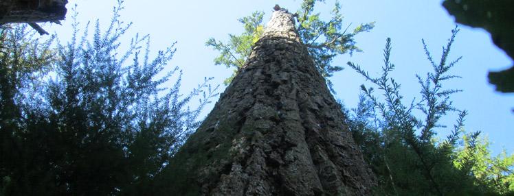 Big Tree banner