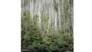 If listed, the yellow cedar will become the first tree species in Alaska to be protected under the ESA. Photo credit: U.S Forest Service