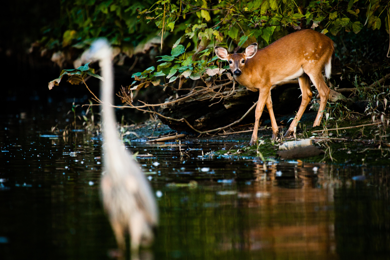 A deer looks at a heron