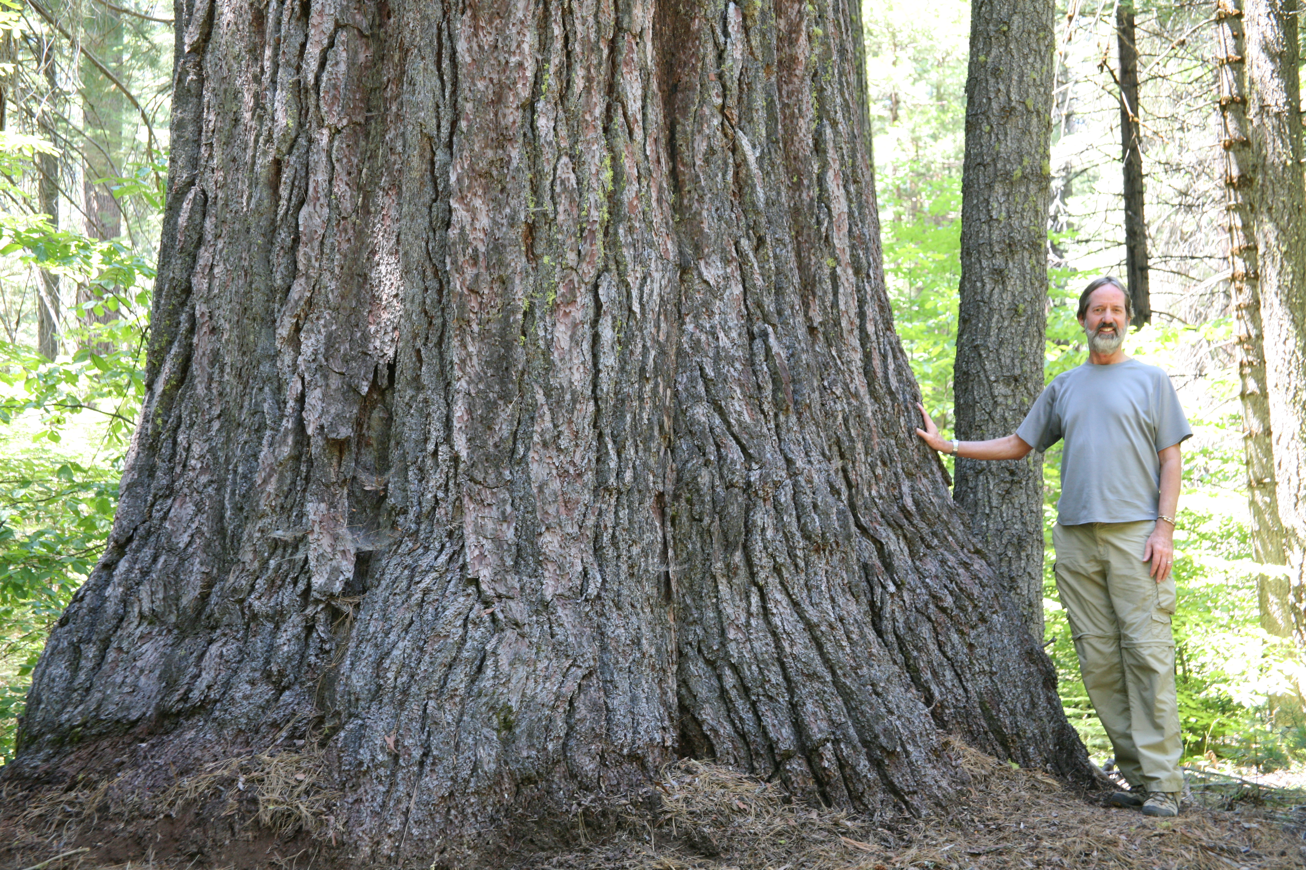 Calaveras sugar pine