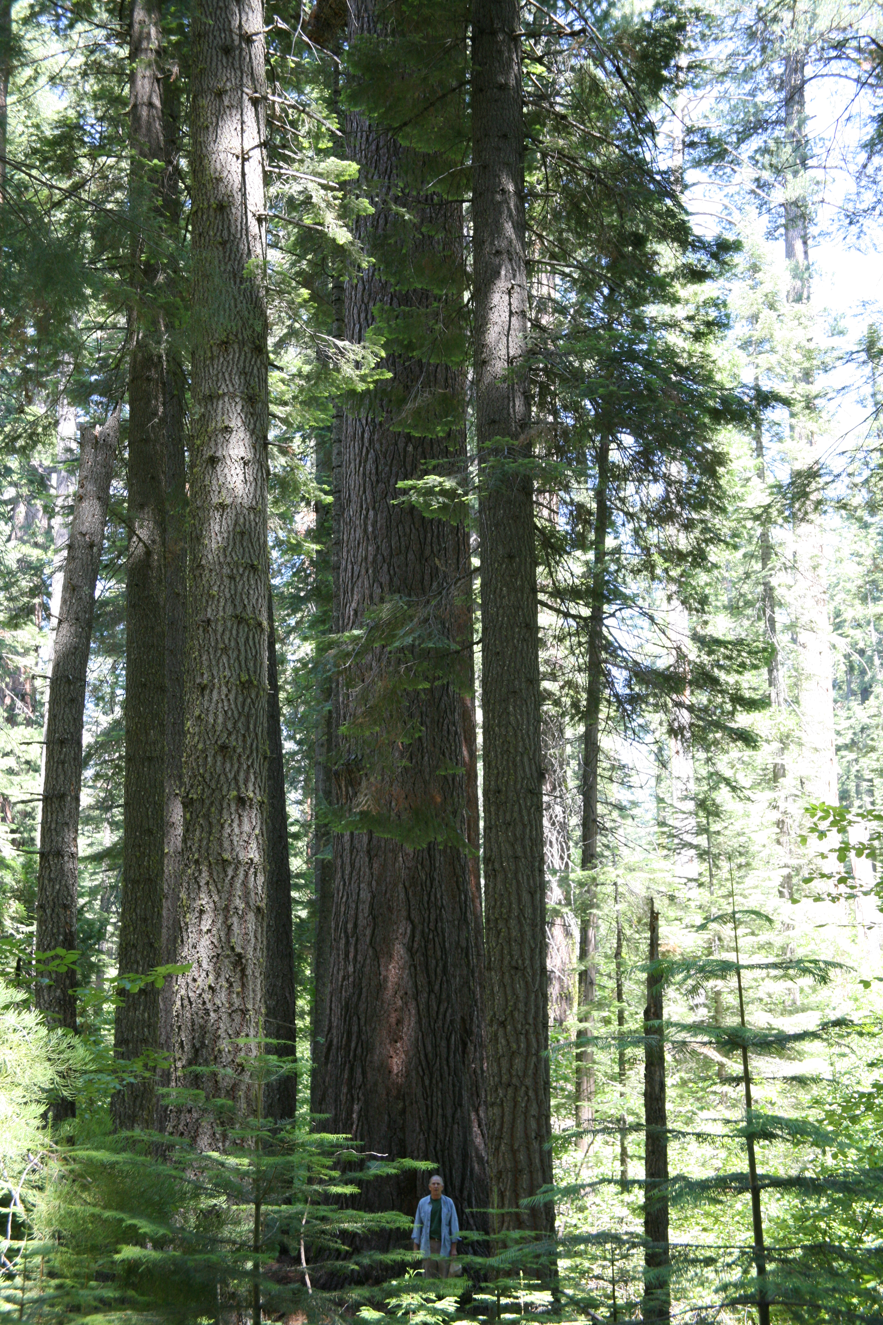 Calaveras sigar pine