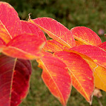 Crape Myrtle leaves in Fall Photo credit: Brandi Korte via Flickr