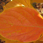 Japanese Persimmon Leaves in Fall Photo Credit: miheco via Flikr