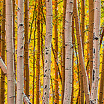 Quaking Aspen leaves in fall Photo credit: Bryce Bradford via Flickr