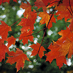 Red Maple leaves in Fall Photo credit: Greg Wagoner via Flickr