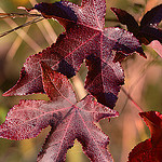 Sweet gum Tree Leaves in Fall Photo Credit: J. Micheal Raby via Flickr