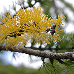 Apline Larch in Fall Photo Credit: Credit J Brew via Flickr