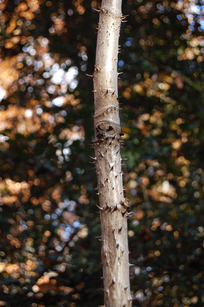 Devil's Walking Stick