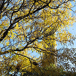 Honey Locust in Fall Photo Credit: Leonora Enking via Flickr
