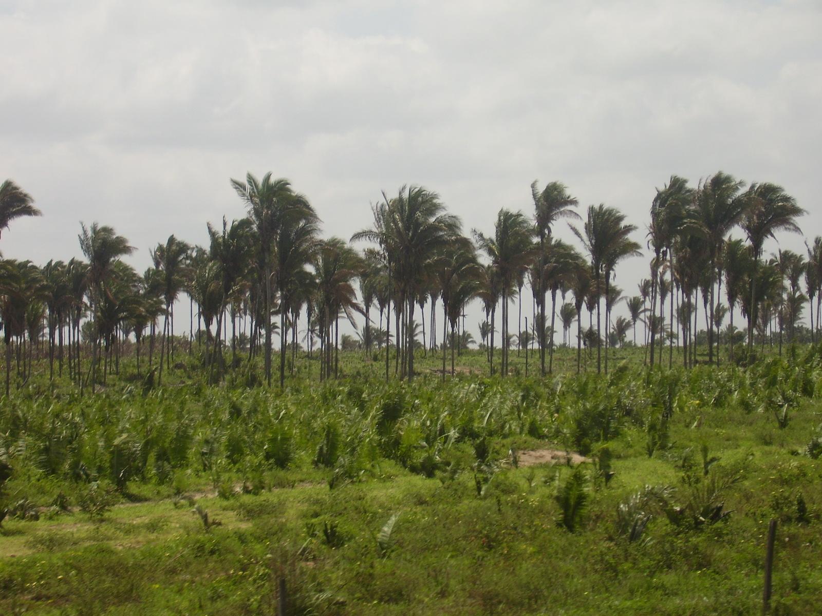Palm plantation in Juruti, Brazil