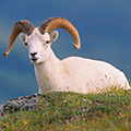 Events-Alaska-Denali-Dall-sheep