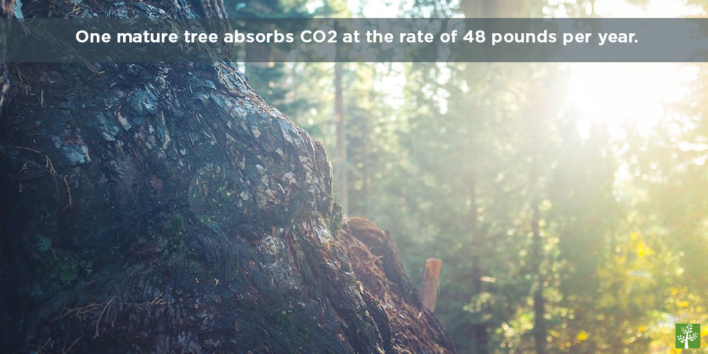 One mature tree absorbs CO2 at the rate of 48 pounds per year.