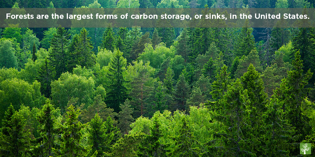 Forests are the largest forms of carbon storage, or sinks, in the United States.