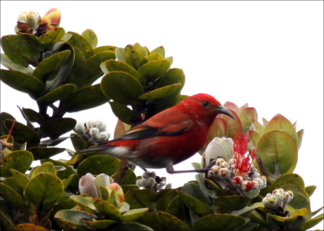 ʻApapane
