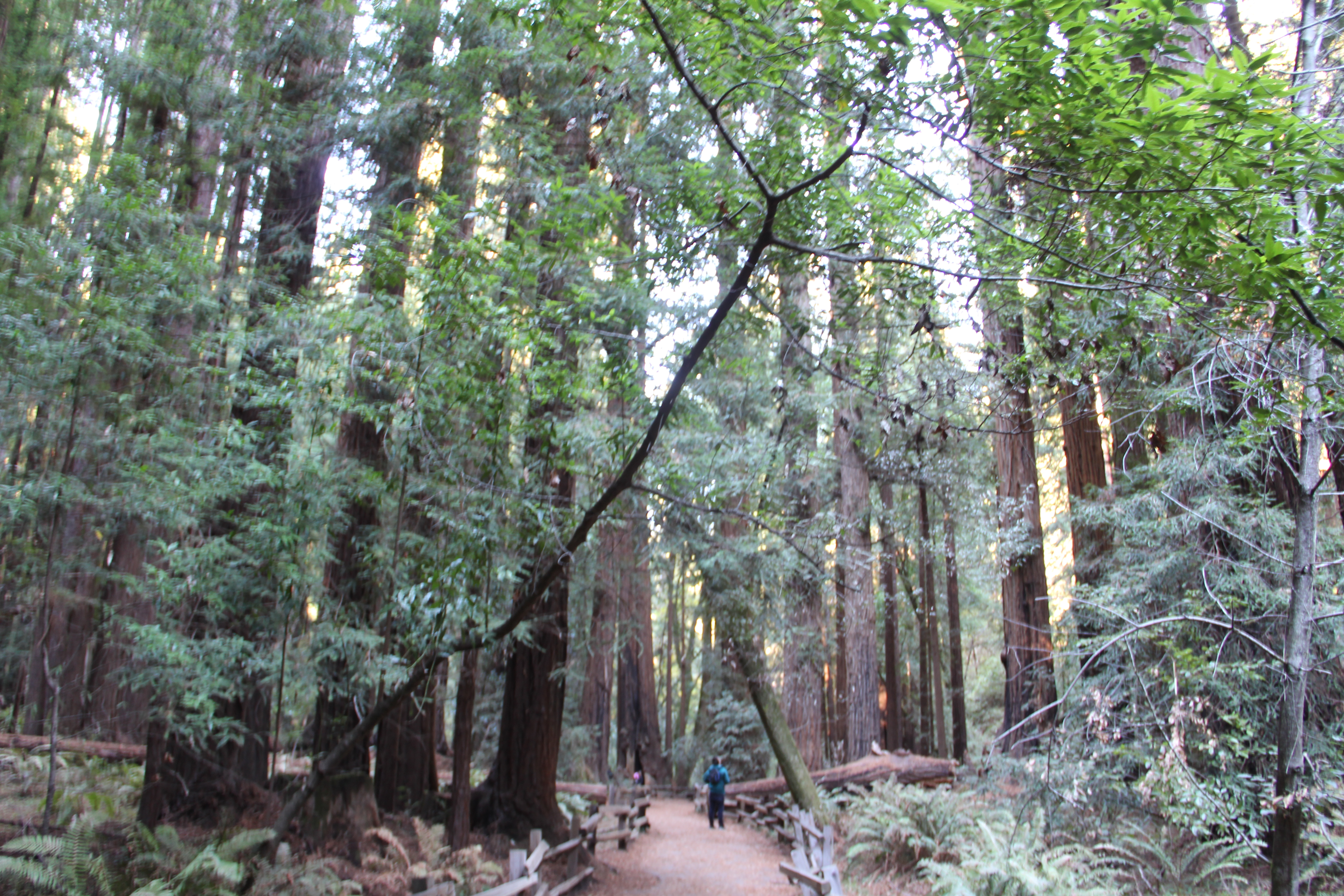 Pathway in Muir Woods showing the human-to-tree scale in the forest.