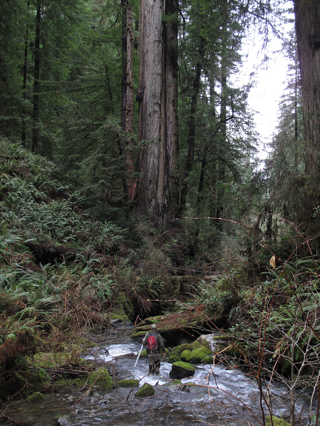 A biologist conducting a fish survey in Little Lost Man Creek