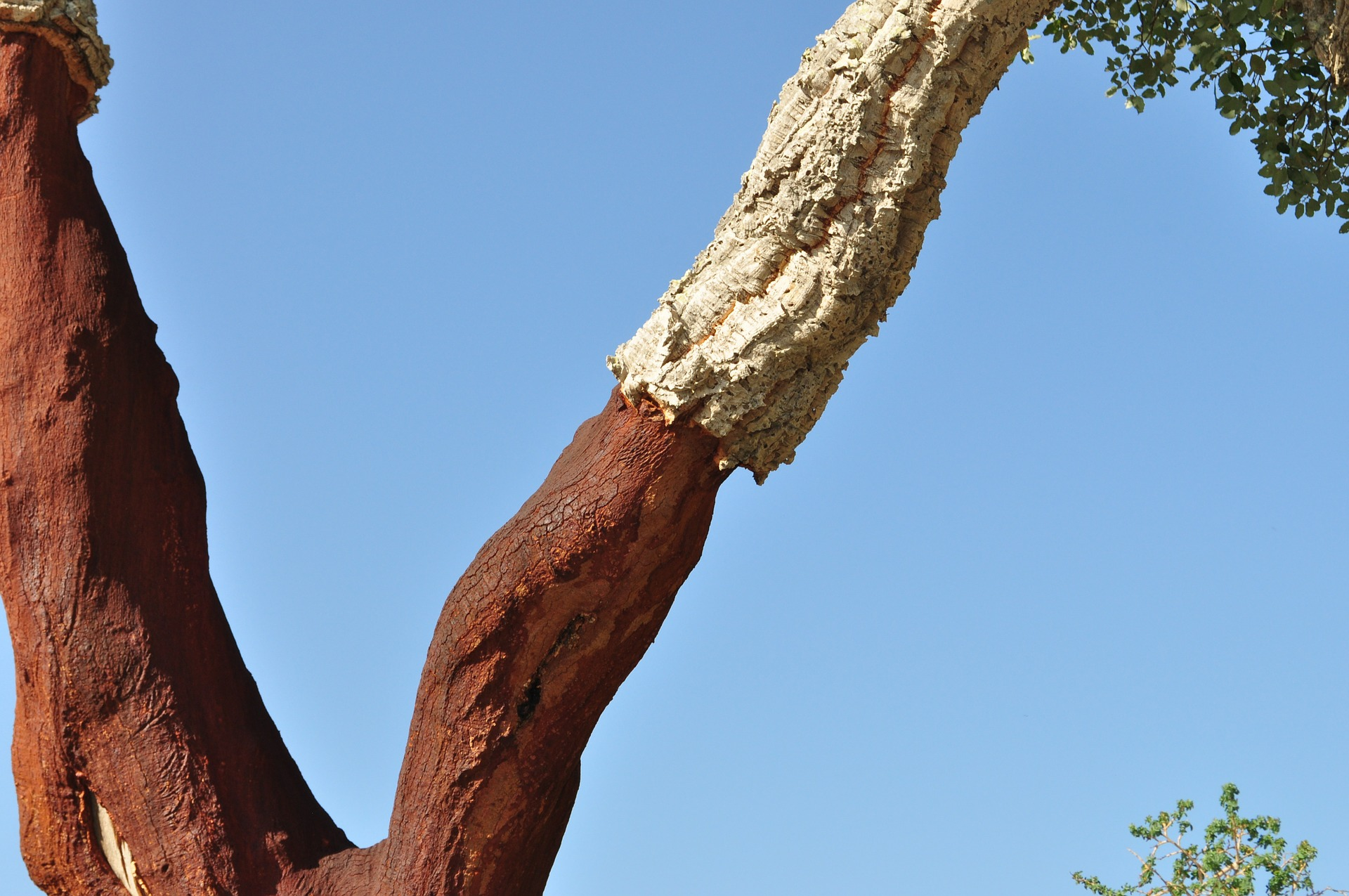Cork oak bark.