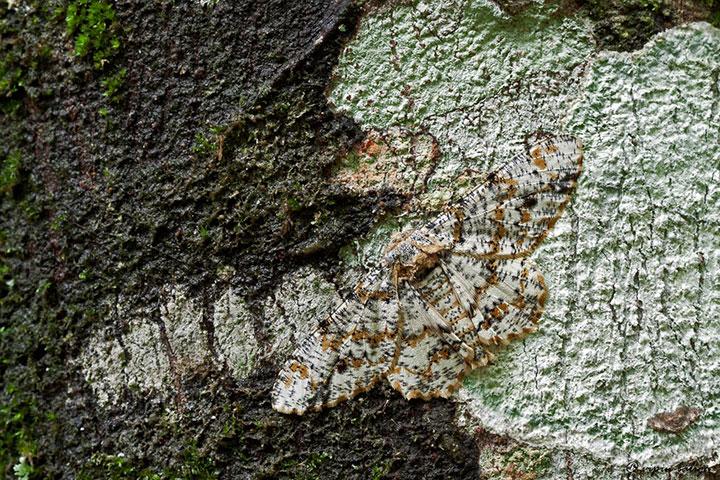 Tulip-tree moth
