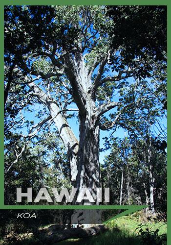 Hawaii, Koa