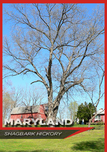 Maryland, Shagbark hickory