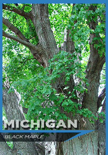 Michigan, black maple