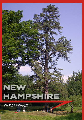New Hampshire, pitch pine