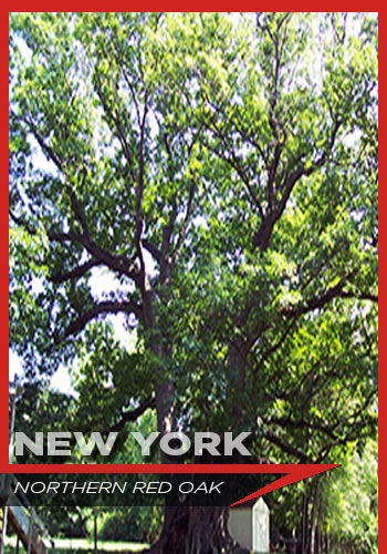New York, northern red oak