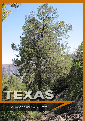 Texas, Mexican pinyon pine