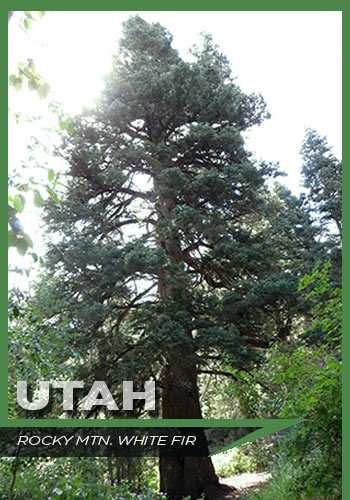 Utah, Rocky Mountain white fir