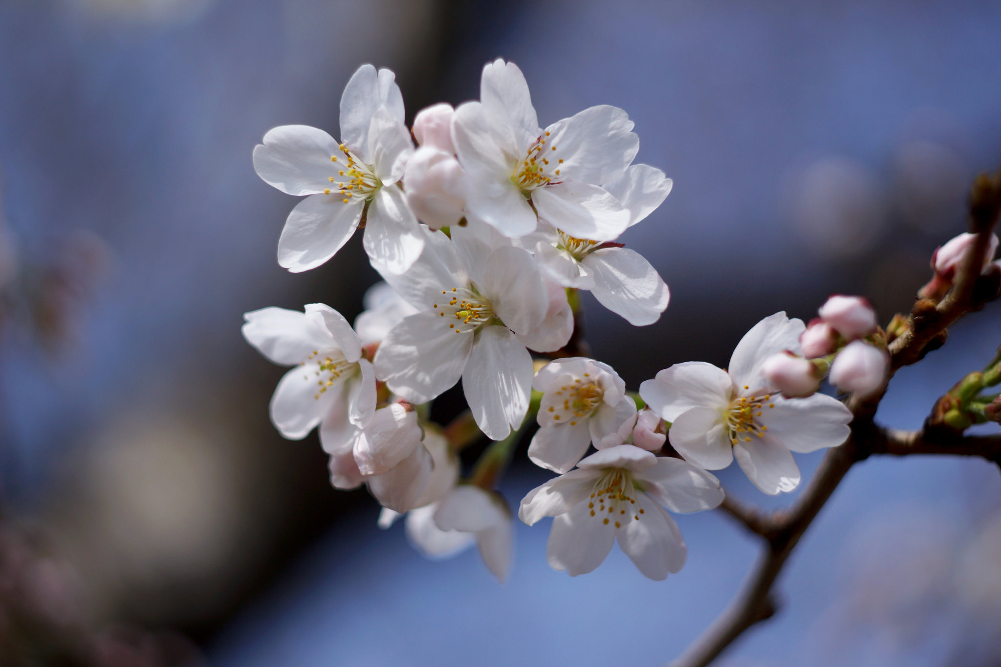 The history behind d c s cherry blossoms american forests Cherry blossom pictures