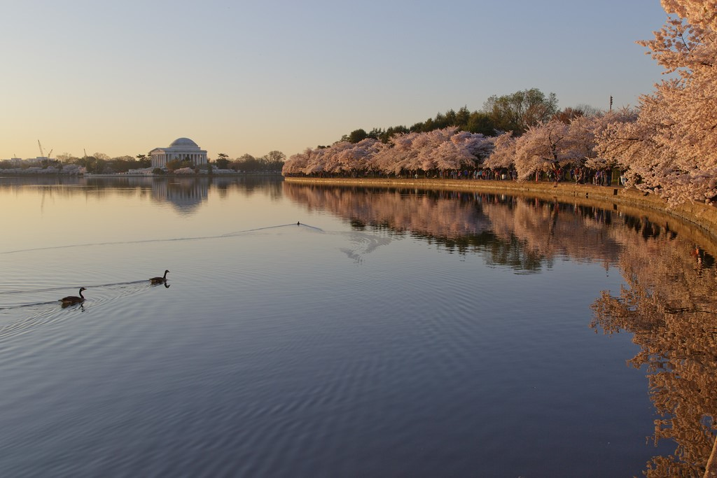 Cherry blossoms surrounding the Tidal Basin.