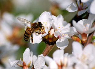 Bee on cherry blossom