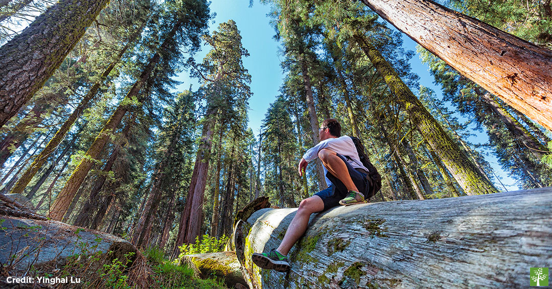 Man looking up giant sequoias