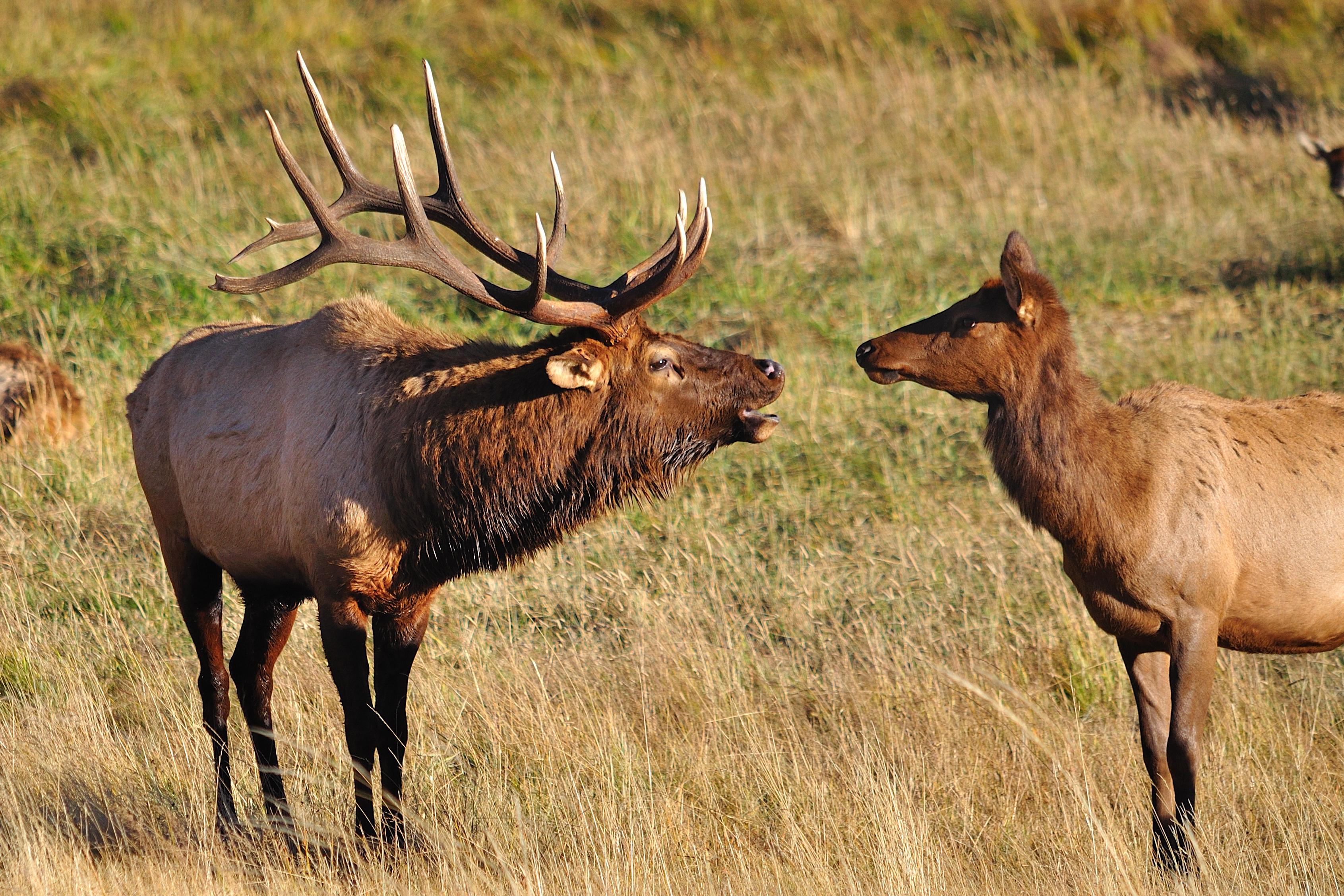 An elk bull bugling at an elk cow
