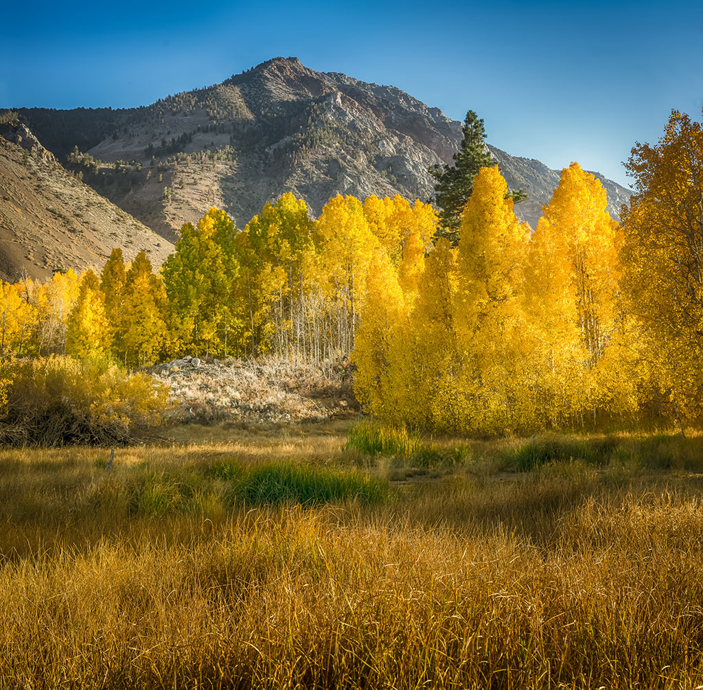 Aspens in front of mountains.