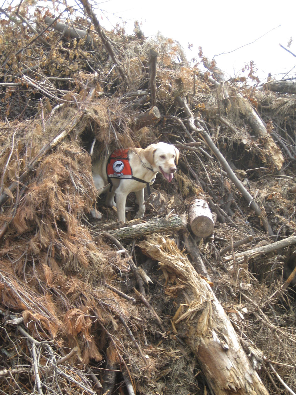 Lily does a thorough search of a brush pile in the hopes of finding infested ash wood.