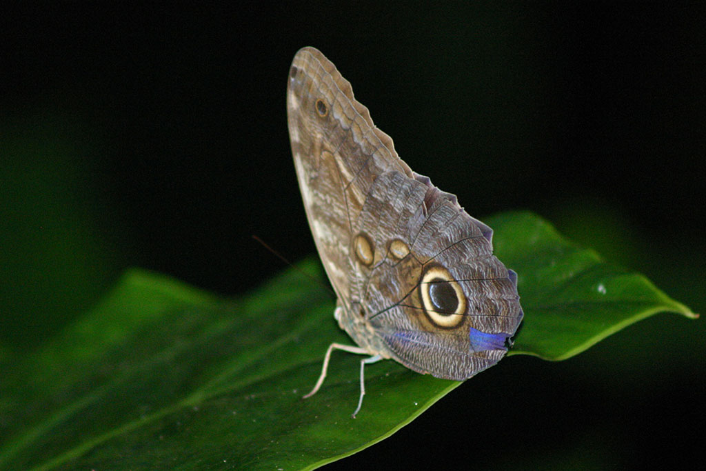 Endangered Owl Butterly in Lapa Rios