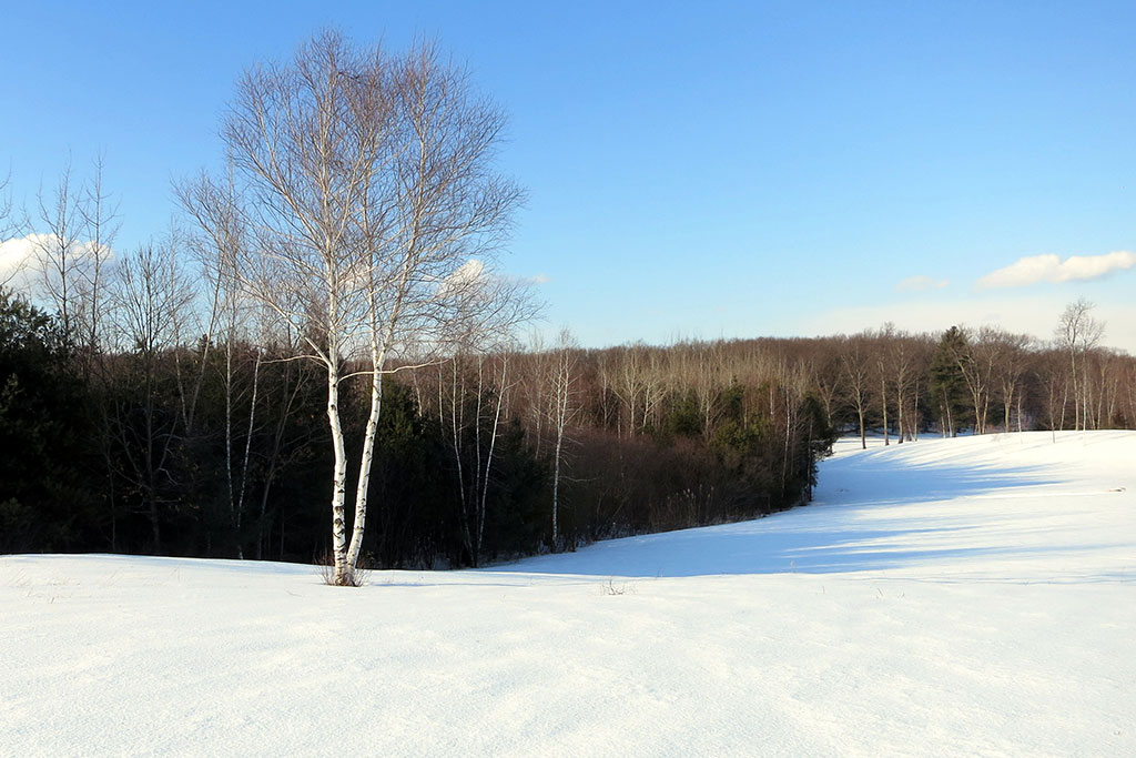 A white birch on a winter field in Concord