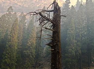 Dead Sequoia