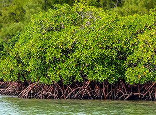 mangroves-thumbnail
