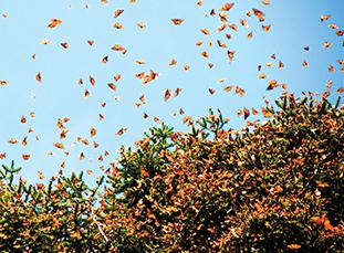 monarchs-thumbnail