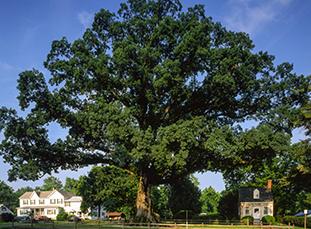 wye-oak-thumbnail