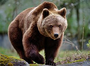 yellowstone-bears-thumbnail