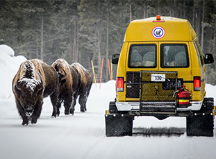 Bison herd in Yellowstone National Park.