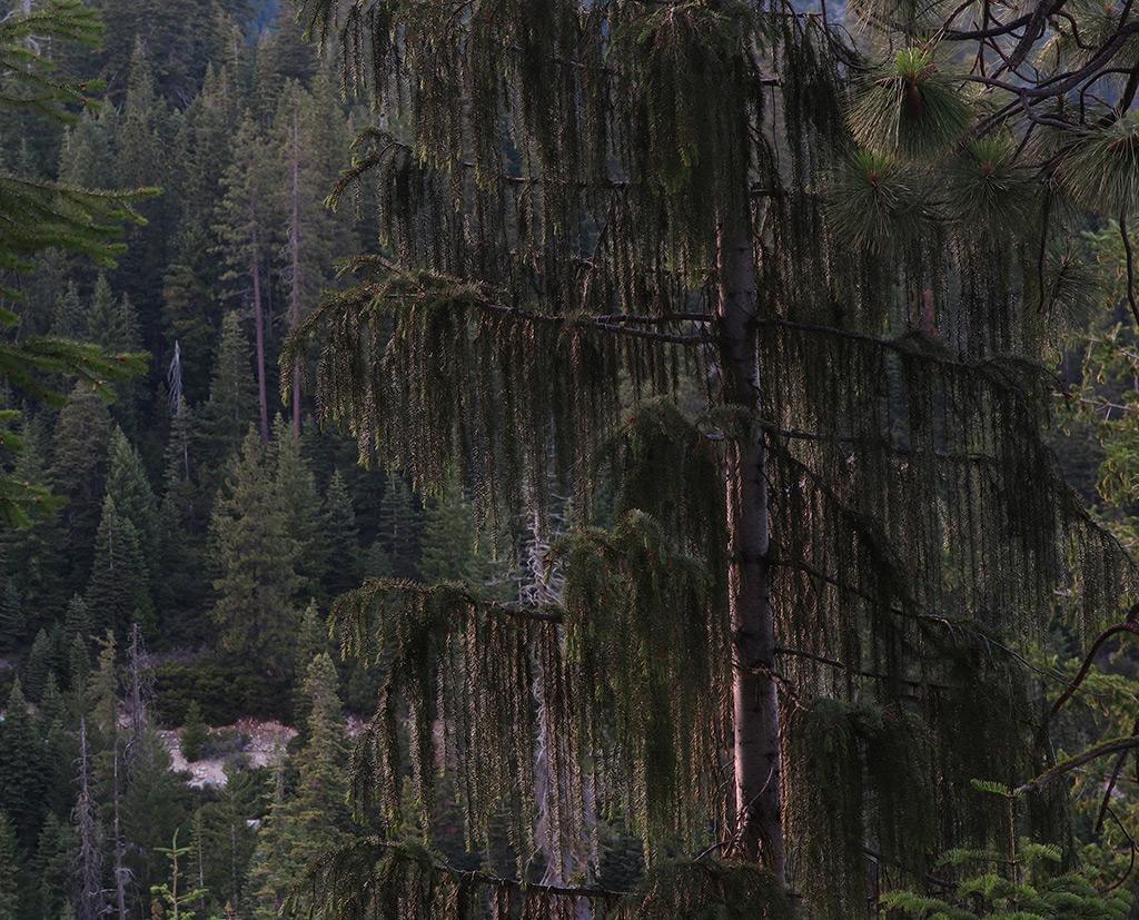 Brewer Spruce