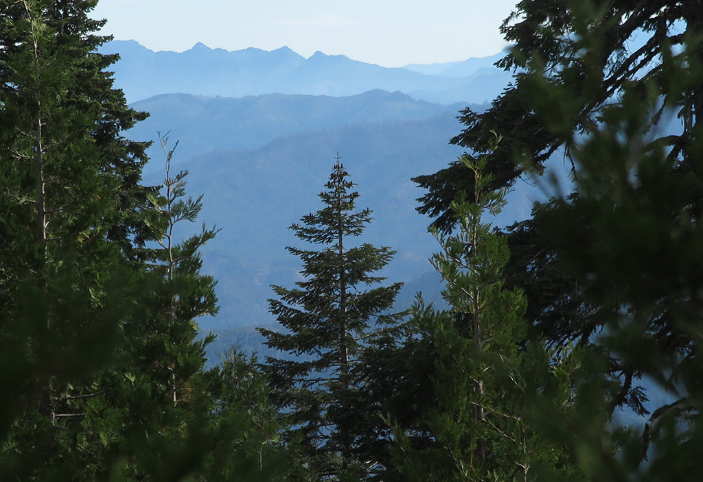Serving as a bridge between the California red fir of the south and noble fir of the north is the Shasta fir, found only in the Klamath region.